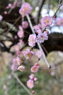 ピンクの梅の花の写真・画像素材[4231430]