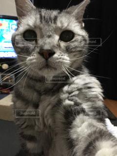 猫,自撮り,ねこ,アメリカンショートヘア,アメショ,自撮り風