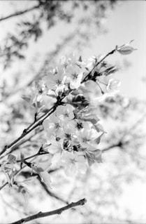 自然,春,冬,桜,白,モノクロ,影,樹木,日本,フィルム写真,サクラサク,ホワイトカラー,黒と白