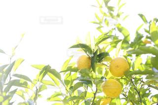 柚子たちの写真・画像素材[1775137]