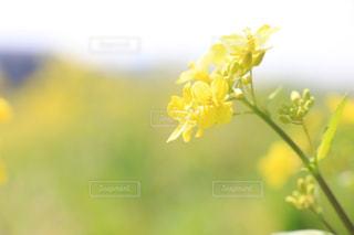 自然,空,植物,晴れ,黄色,菜の花,日差し,鮮やか,黄色い花,幸せ,イエロー,色,千葉県,草木,Spring,yellow