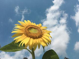 黄色の花の写真・画像素材[1861777]