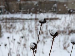 自然,冬,雪,白,ドライフラワー,寒い,SNOW,カナダ,winter,ホワイト,White,nature,Canada,2018年,dried flower