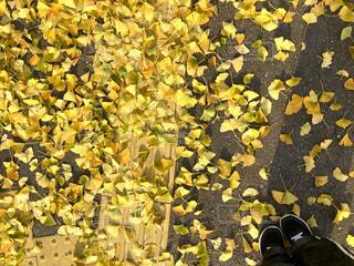 屋外,散歩,黄色,鮮やか,イチョウ,点字ブロック,イエロー,カラー,色,黄,yellow