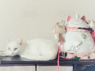 猫,白,ねこ,ペット,可愛い,ホワイト,フォトジェニック