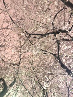 花,春,夜,森林,屋外,女子,樹木,草木,桜の花,さくら,薄ピンク,ブロッサム,オーク