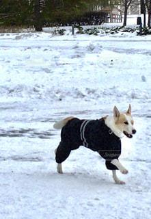 犬,公園,雪,雪遊び,ロシア,モスクワ,服を着た犬,ゴーリキー公園