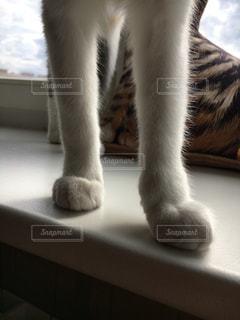 猫,窓,窓辺,猫足,白グレイ,マラシャ,白い脚