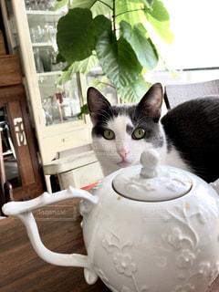 猫,ティータイム,ダイニング,観葉植物,グリーン,ティーポット,ウンベラータ,ブチ猫,ホワイト&グレイ,医療棚,白いキャビネット,白いティーポット