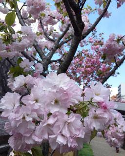 自然,桜,屋外,京都,ピンク,お花見,川沿い