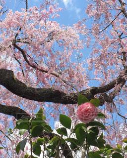 自然,桜,屋外,京都,ピンク,お花見,原谷苑