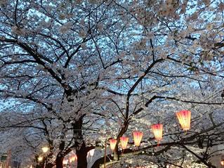桜,屋外,ピンク,お花見,川沿い