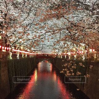 桜,屋外,ピンク,夜桜,お花見,目黒川,川沿い