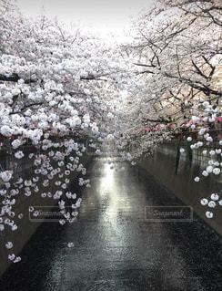 目黒川の桜は大好きすぎて毎年行きますの写真・画像素材[1836146]