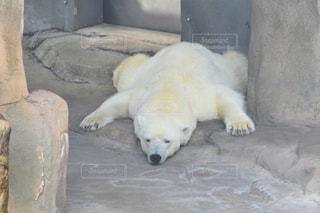 動物,白,寝る,動物園,神戸,しろくま,白くま,ホッキョクグマ,シロクマ,クマ,王子動物園