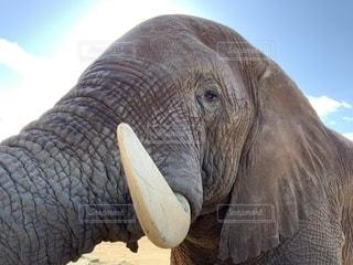象のアップの写真・画像素材[1666989]