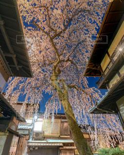 産寧坂の枝垂れ桜の写真・画像素材[1875865]