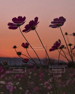 風景,空,花,秋,太陽,夕焼け,鮮やか,光,奈良,橿原市,近畿