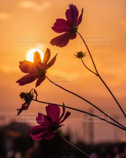 空,花,秋,太陽,コスモス,夕焼け,光,奈良,関西,橿原市,近畿,だるま夕日