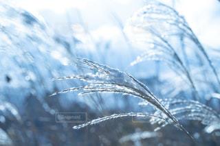 自然,冬,雪,屋外,白,光,ススキ,寒い,冷