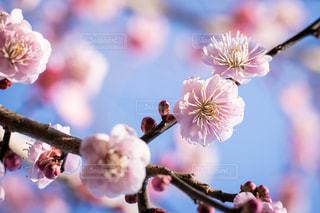 梅の花の写真・画像素材[1797369]