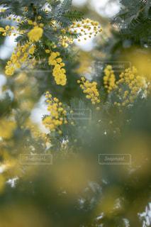 ミモザの木の写真・画像素材[1826069]