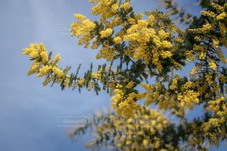 ツリーに黄色い花の写真・画像素材[1826070]