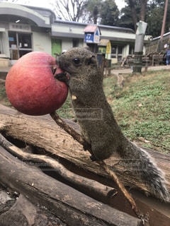 動物,リス,りんご,ごはん,子連れ,町田市,台湾リス,リス園