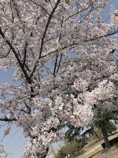 公園の桜の写真・画像素材[4296280]