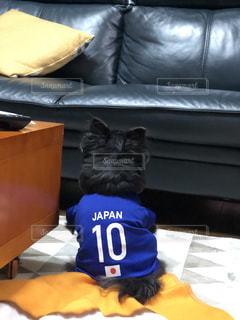 犬,チワワ,青,後ろ姿,黒,椅子,ソファー,サッカー,日本,japan,ユニフォーム,10番,ロング,日の丸,犬服