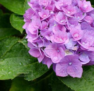花,雨,紫,水滴,花びら,雫,梅雨,しずく