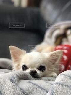 小さな白い犬の写真・画像素材[2708201]