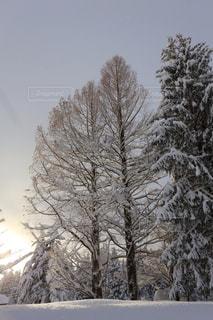 雪に覆われた木の写真・画像素材[1673760]