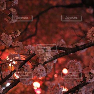 夜桜の写真・画像素材[1682942]