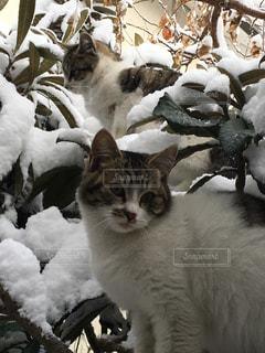 雪の山の上に座っている猫の写真・画像素材[1735163]