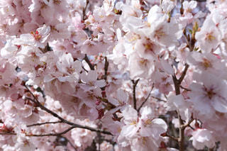 花,春,桜,木,花見,満開,お花見,イベント,ドライブ,桜の花,さくら,ブロッサム