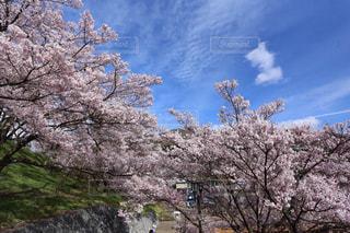 空,花,春,桜,木,屋外,ピンク,青,花見,桜並木,お花見,イベント,桜の花,さくら