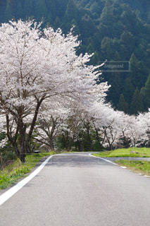 風景,花,春,桜,木,屋外,ピンク,道路,花見,桜並木,景色,樹木,お花見,道,イベント,ドライブ,さくら