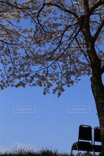 空,春,桜,木,屋外,青い空,花見,椅子,お花見,イベント,いす,デート,ドライブ,さくら