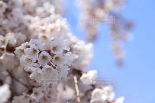 空,花,春,桜,木,ピンク,青,花見,景色,お花見,イベント,草木,希望,桜の花,さくら