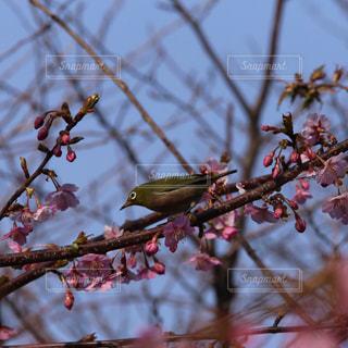 風景,空,花,春,桜,鳥,木,屋外,ピンク,枝,花見,お花見,イベント,さくら,ウグイス,鶯