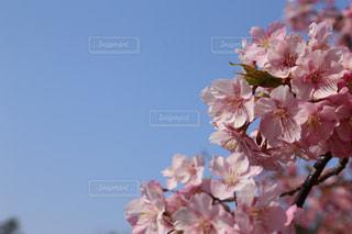 空,花,春,桜,木,ピンク,青,花見,景色,お花見,イベント,桜の花,さくら