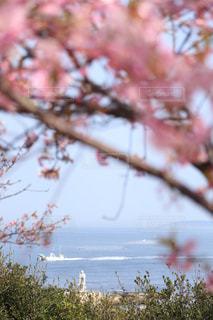 海,春,桜,木,ピンク,花見,景色,お花見,イベント,ドライブ,さくら