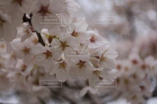 花,春,桜,木,花見,景色,お花見,イベント,桜の花,さくら