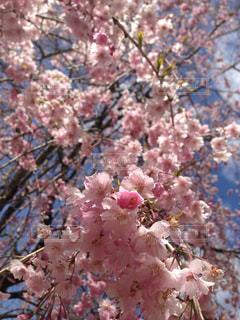 空,花,春,桜,木,ピンク,花見,景色,お花見,イベント,桜の花,さくら