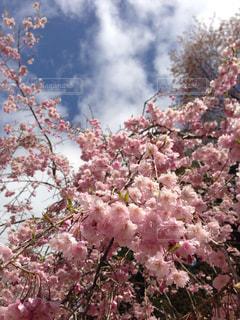 空,花,春,桜,木,ピンク,花見,お花見,イベント,桜の花,さくら
