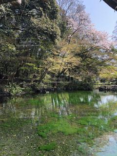 春,桜,水,水面,池,お花見