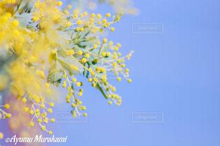 春,屋外,黄色,季節,ミモザ,カラー,四季,きいろ