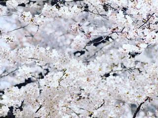 桜の写真・画像素材[1677036]