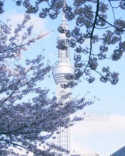 スカイツリーと桜、そして青空の写真・画像素材[1684839]